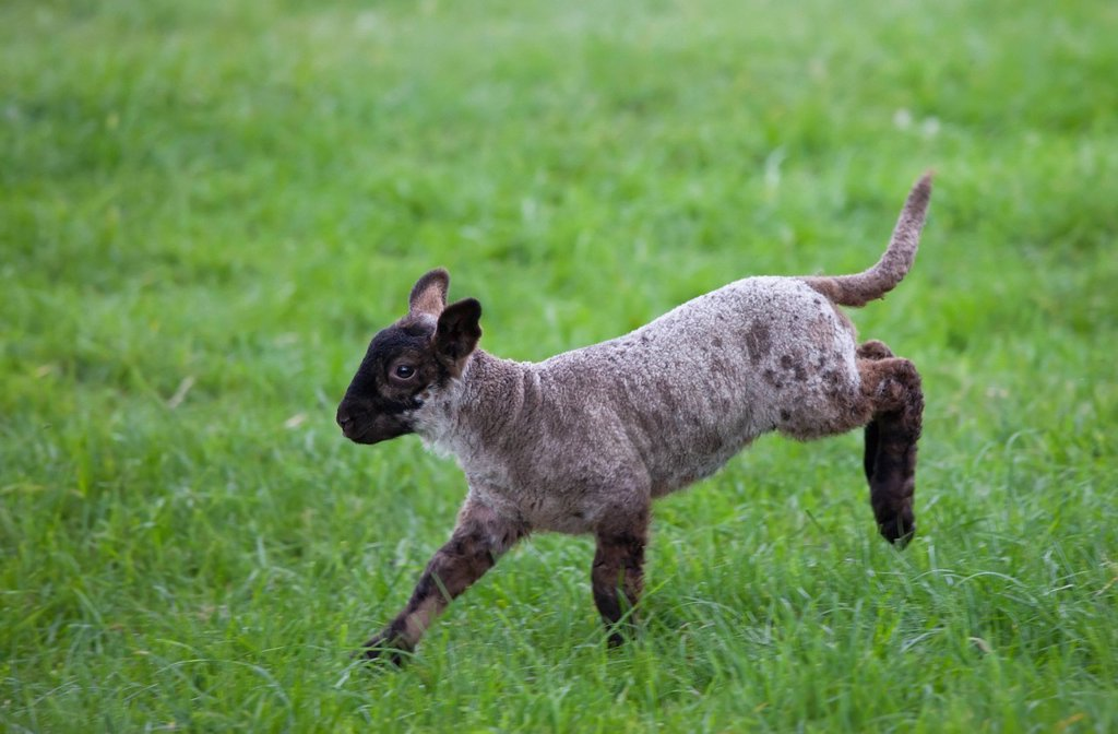 a lamb leaping on the grass, northumberland england : Stock Photo