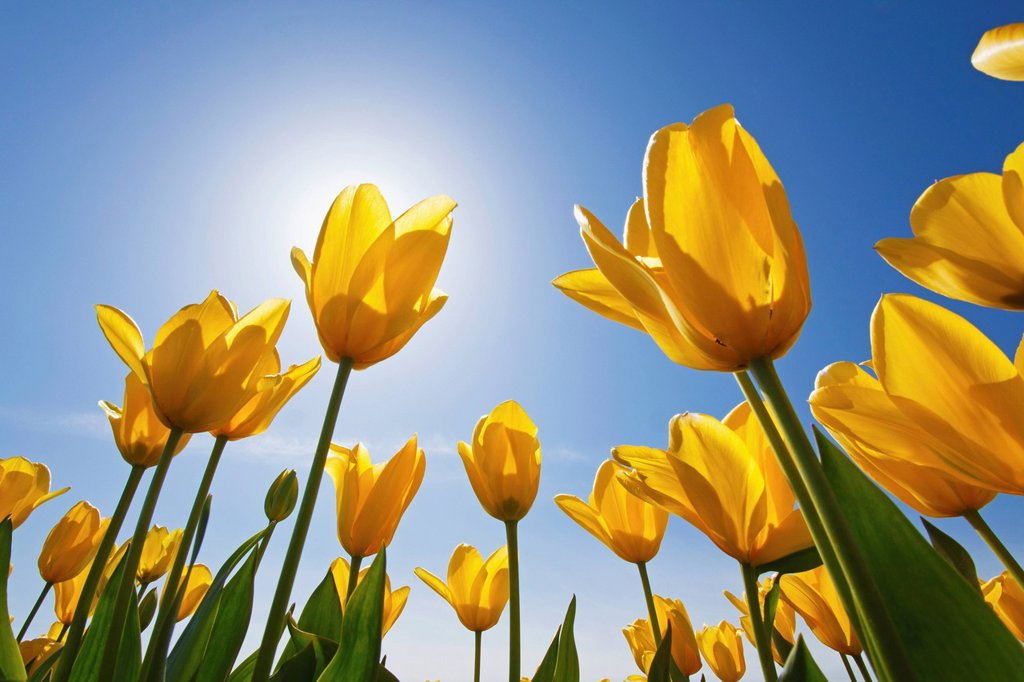 Stock Photo: 1889R-68921 yellow tulips against a blue sky at wooden shoe tulip farm, woodburn oregon united states of america