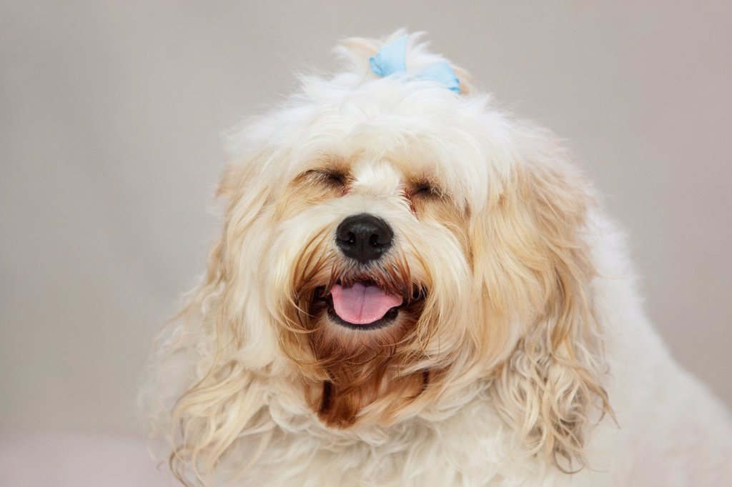 a white dog with a blue bow in it´s hair, portland oregon united states of america : Stock Photo