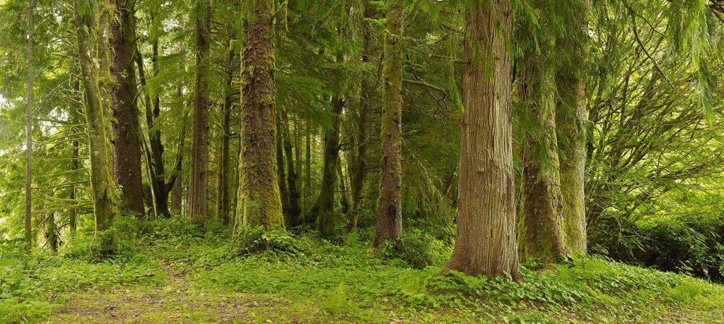 a lush forest, tofino british columbia canada : Stock Photo