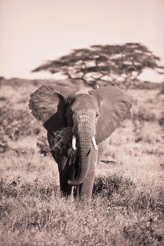 An Elephant Carrying Long Grass In It´s Mouth, Samburu Kenya : Stock Photo