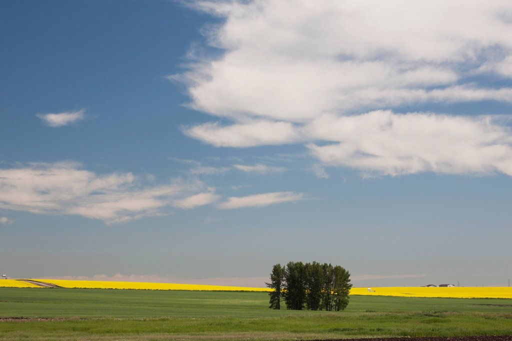 Stock Photo: 1889R-70361 a group of trees in a green field with flowering canola on the distance with blue sky and clouds, alberta canada