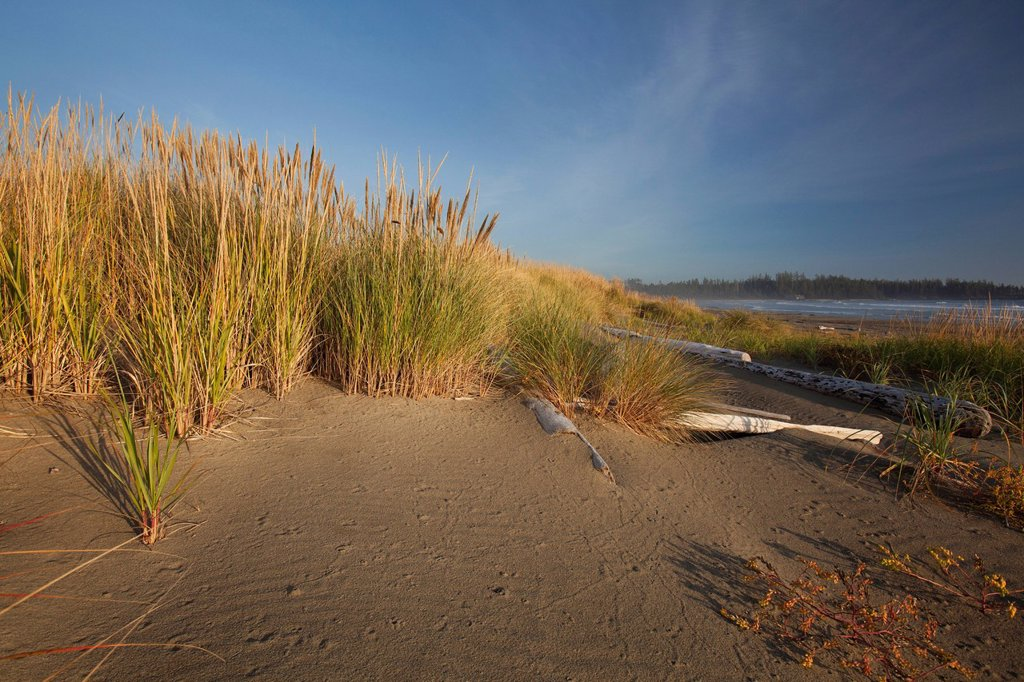 endangered and rare coastal sand dunes at wickaninnish beach which connects to long beach in pacific rim national park near tofino, british columbia canada : Stock Photo