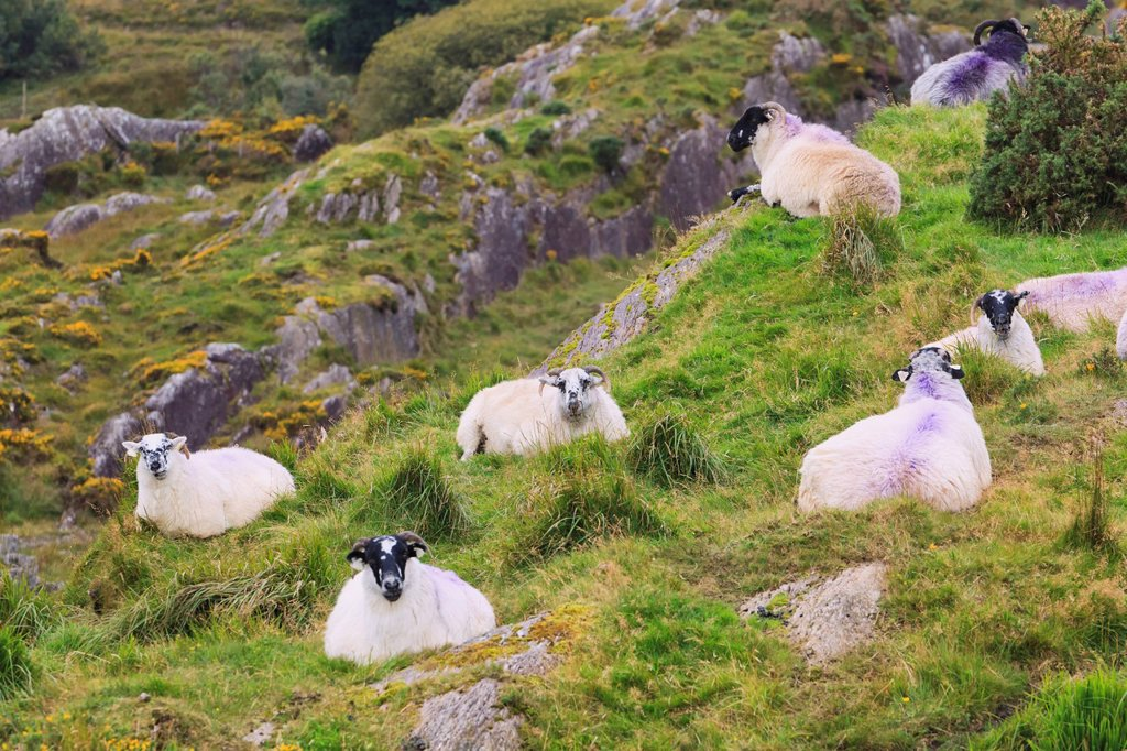 Stock Photo: 1889R-71673 sheep on hillside near healy´s pass, county kerry republic of ireland