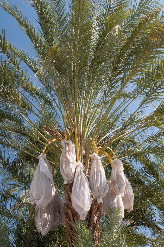 Stock Photo: 1889R-72931 Close Up Of Date Tree With Covered Sacks On Date Clusters, Palm Springs California United States Of America