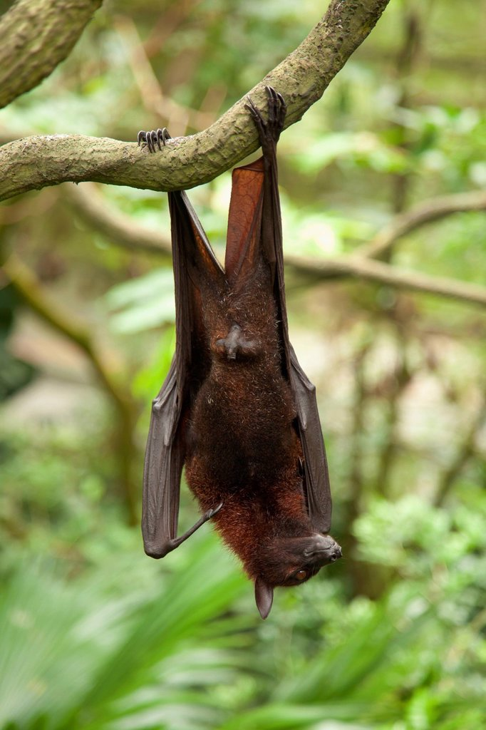 Stock Photo: 1889R-73071 A Flying Fox Fruit Bat Pteropus At The Singapore Zoo, Singapore