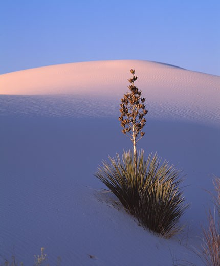 Stock Photo: 1889R-7318 Yucca plant and dune, White Sands National Monument