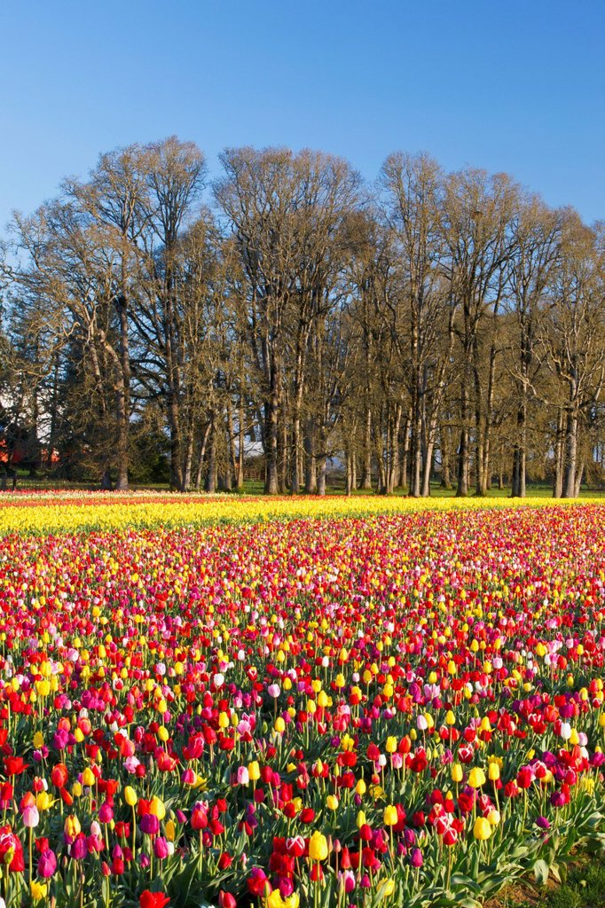 Stock Photo: 1889R-73209 A Colourful Tulip Field At Wooden Shoe Tulip Farm, Woodburn Oregon United States Of America