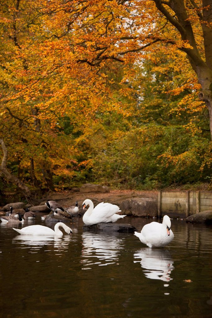 Stock Photo: 1889R-73553 Swans And Geese In A Pond In Autumn, Northumberland England