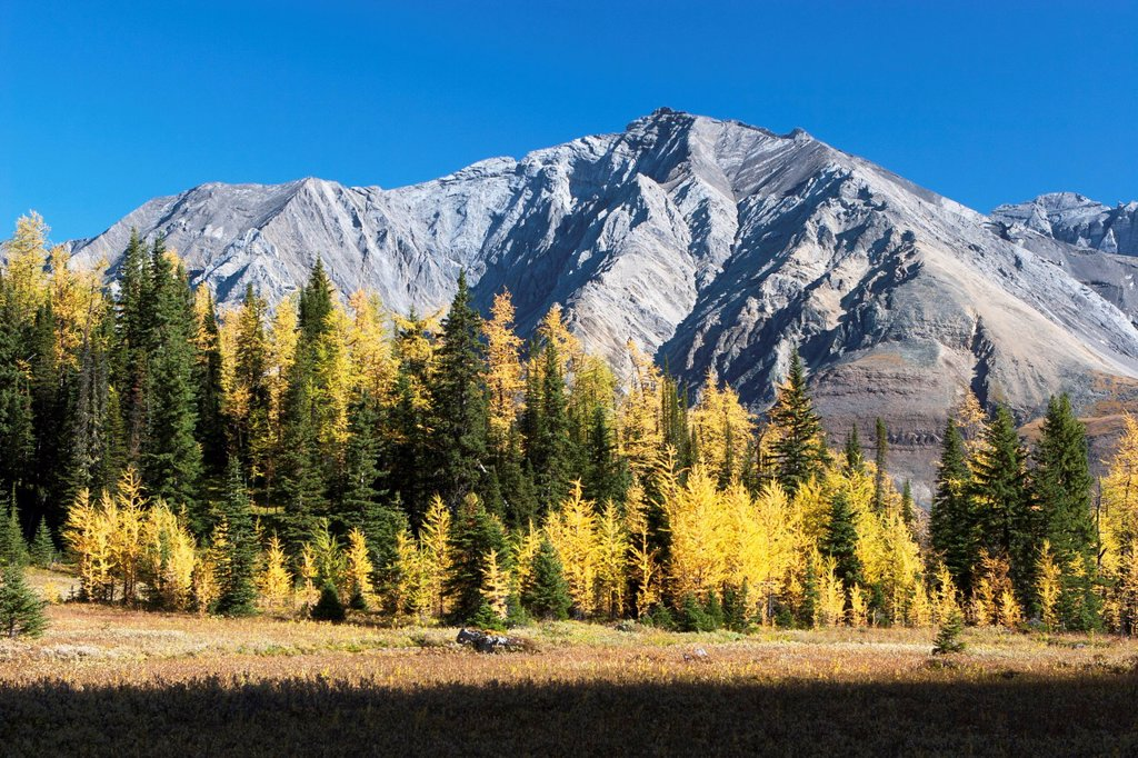 Mountain Meadow In The Fall With Golden Larch Trees And Mountain In The Distance With Blue Sky, Alberta Canada : Stock Photo