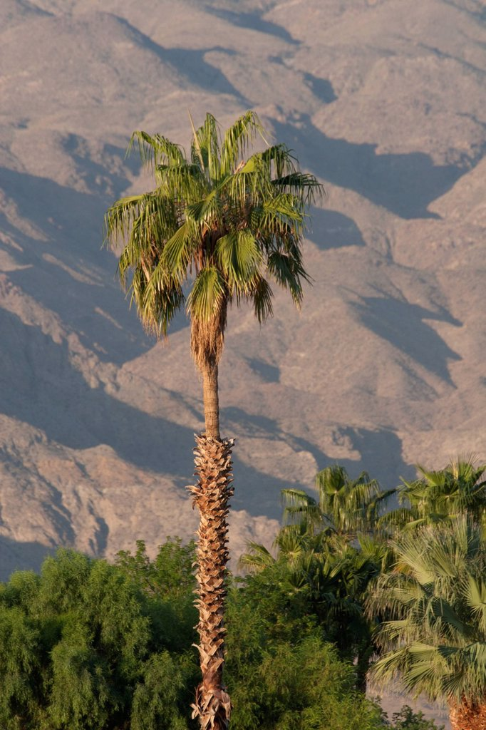 Stock Photo: 1889R-74080 Palm Tree At Sunrise With Desert Mountain Side Filling Background, Palm Springs California United States Of America