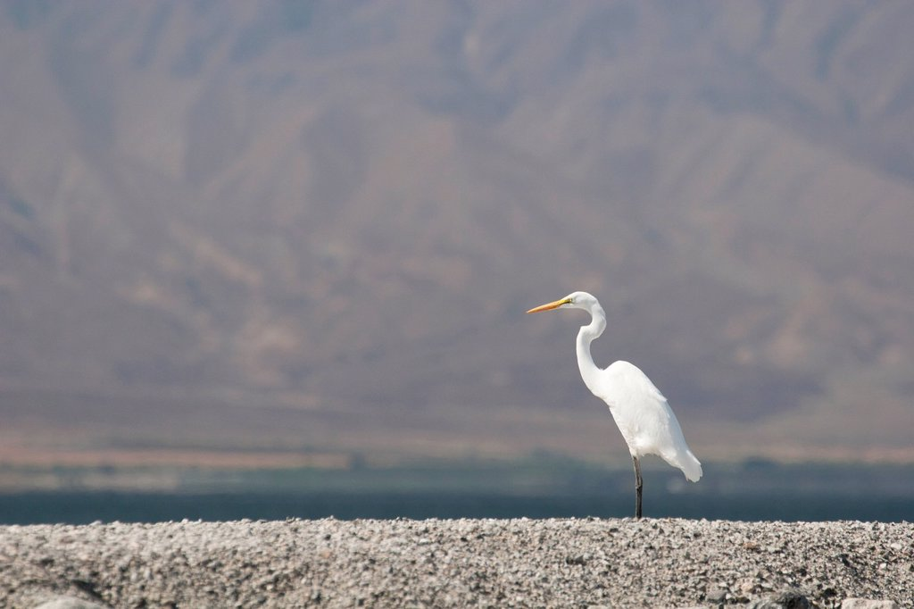 Stock Photo: 1889R-74082 Great White Egret/Heron On Rocks With Desert Lake And Mountain Side Filling The Background, Palm Springs California United States Of America