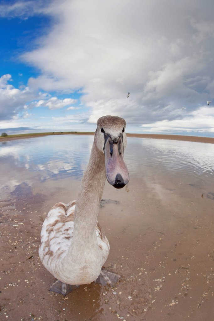 A Goose Standing On The Beach Staring At The Camera, Northumberland England : Stock Photo