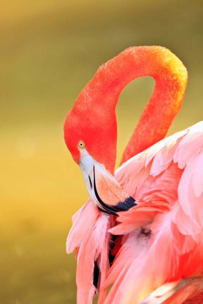 Caribbean Flamingo Phoenicopterus Rube At The San Diego Zoo, San Diego California United States Of Americ : Stock Photo