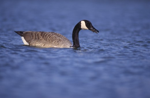Canada goose feeding in pond : Stock Photo