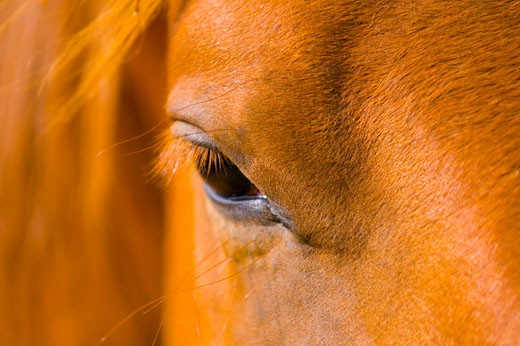 Stock Photo: 1889R-7671 Eye of a horse