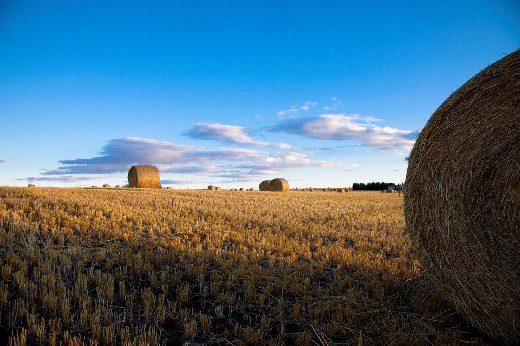 Stock Photo: 1889R-77099 Hay bales in a field, sturgeon county alberta canada