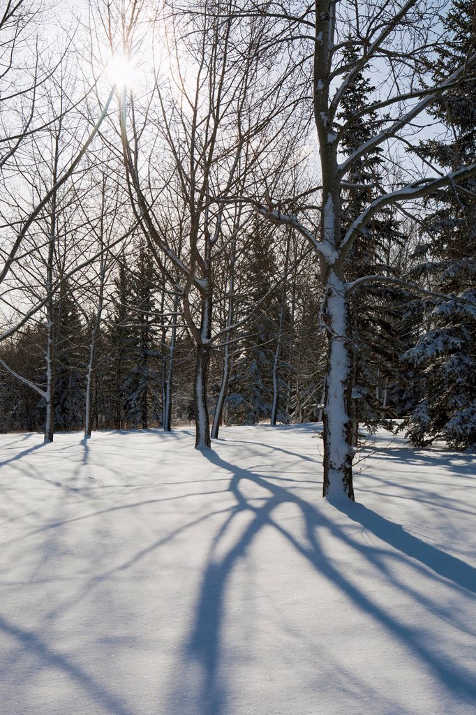 Silhouette of a snow covered forest with long shadows in the snow and the sun in the sky, calgary alberta canada : Stock Photo
