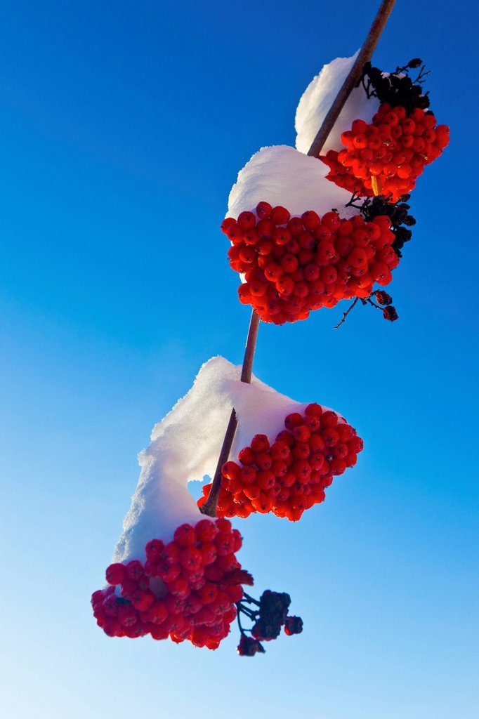 Red berries on a mountain ash tree branch against a blue sky, spruce grove alberta canada : Stock Photo