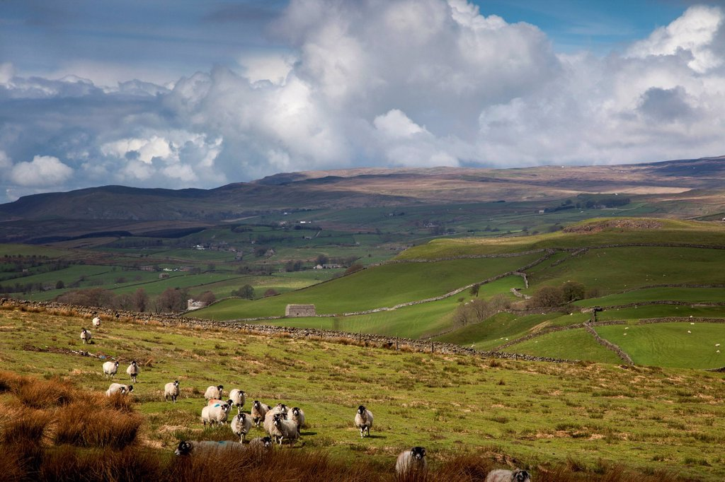 Stock Photo: 1889R-78331 Sheep grazing in a field with storm clouds approaching, swaledale england