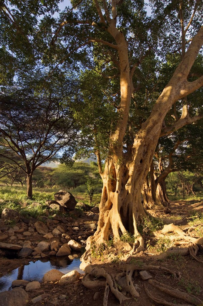 Stock Photo: 1889R-78388 Giant Fig Tree In The Ewaso Rongai Valley, Kenya