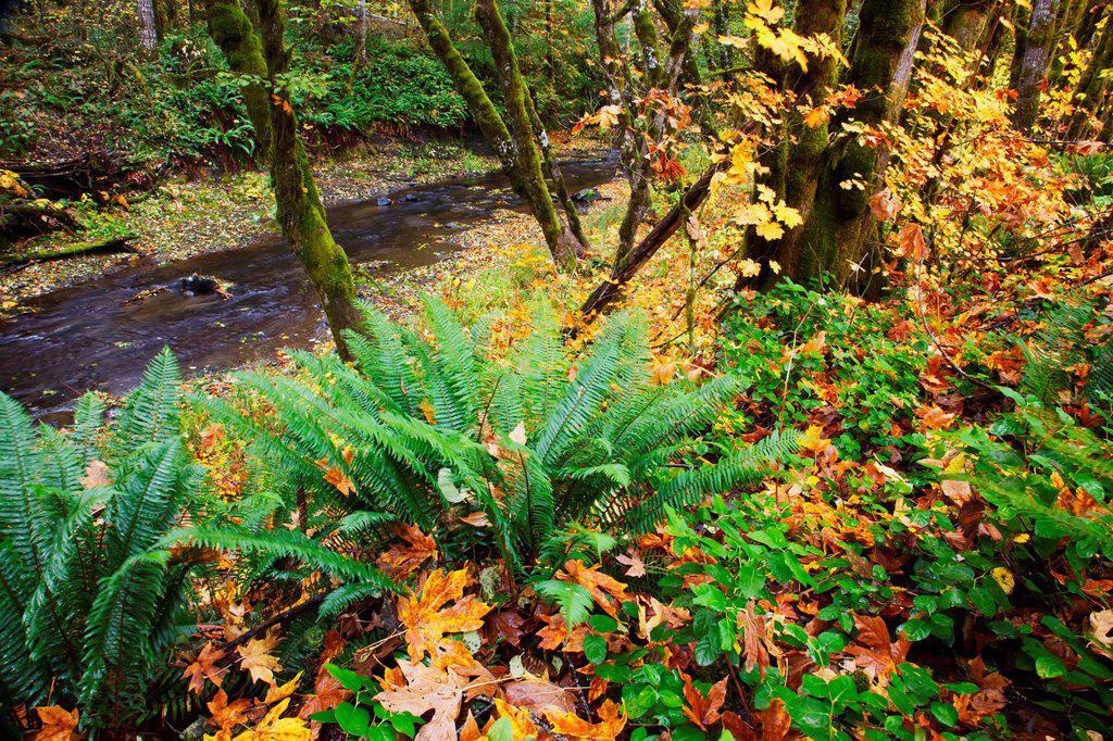Autumn colours along wolf creek oregon coast range, oregon united states of america : Stock Photo