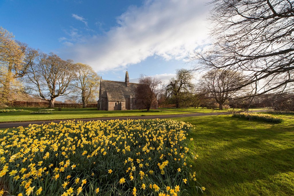 Daffodils in bloom with st. mary the virgin church in the background, etal northumberland england : Stock Photo