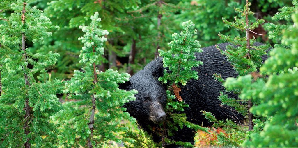 A wild black bear forages in the forest, whistler british columbia canada : Stock Photo