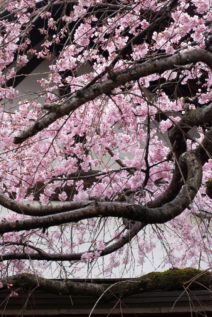 Stock Photo: 1889R-80273 Cherry blossom tree in front of a white temple wall, nara, japan