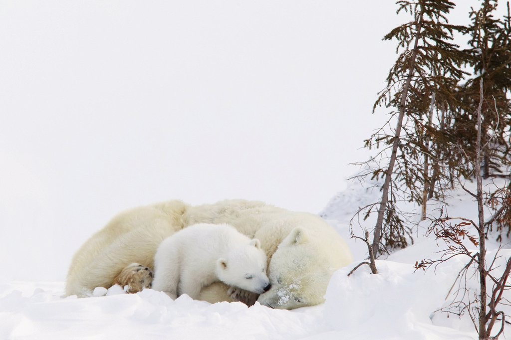 Stock Photo: 1889R-80653 Polar bear ursus maritimus cub kisses her mother at wapusk national park, manitoba canada