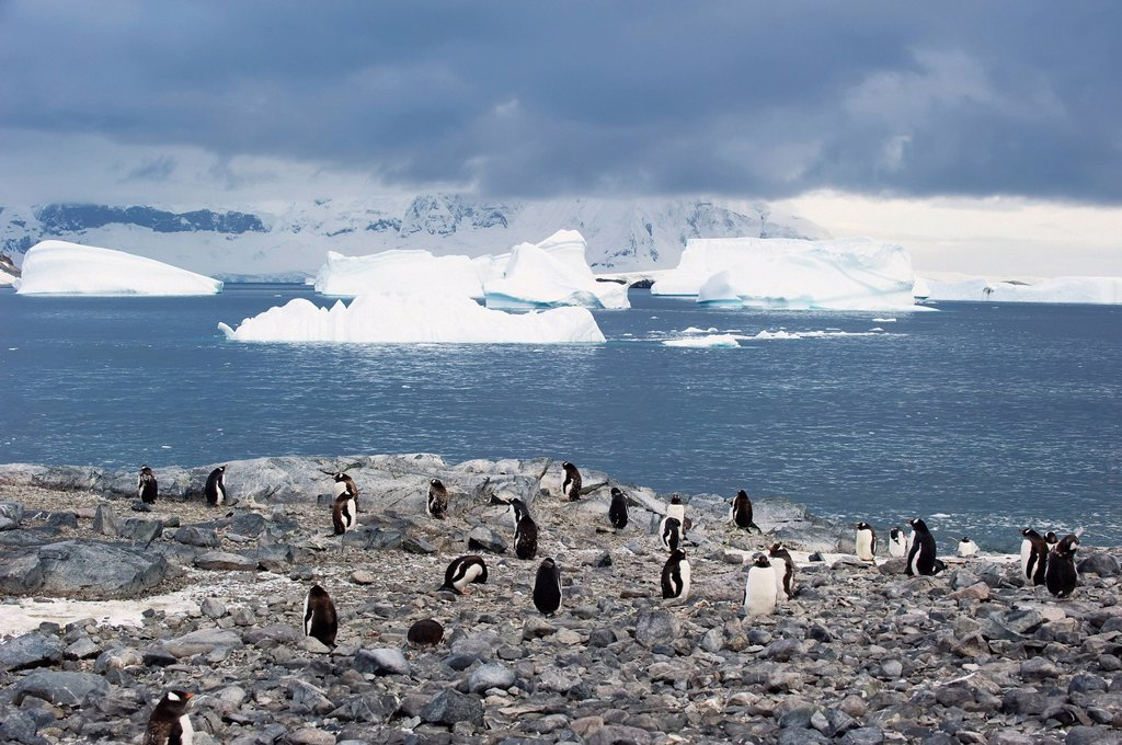 Stock Photo: 1889R-80749 Gentoo penguins pygoscelis papua, antarctica