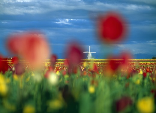 Tulip field in soft focus, distant windmill. : Stock Photo