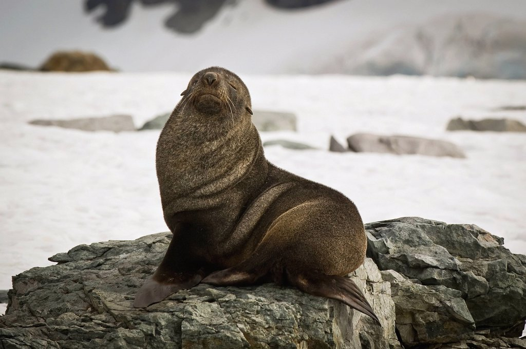 Stock Photo: 1889R-81990 Antarctic fur seal arctocephalus gazella, antarctica
