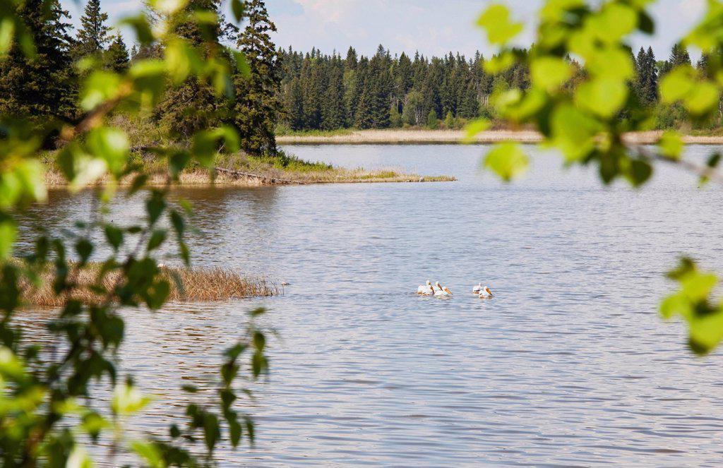 Stock Photo: 1889R-82453 Pelicans in elk island national park, alberta, canada