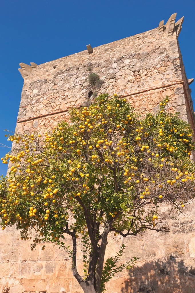Orange tree in front of a tower of the castle of the guzmans, against a blue sky, niebla, huelva province, andalusia, spain : Stock Photo