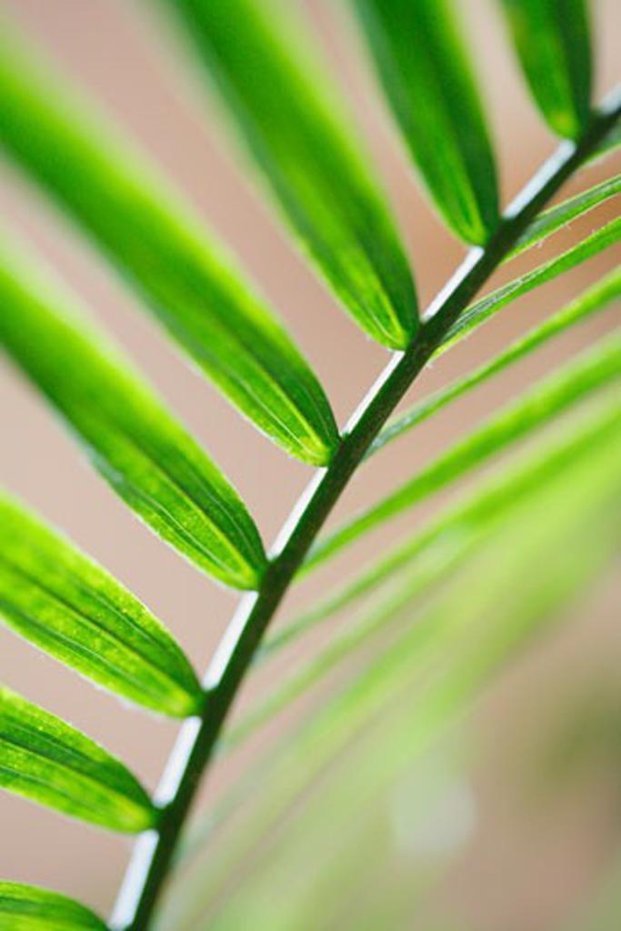 A palm leaf : Stock Photo