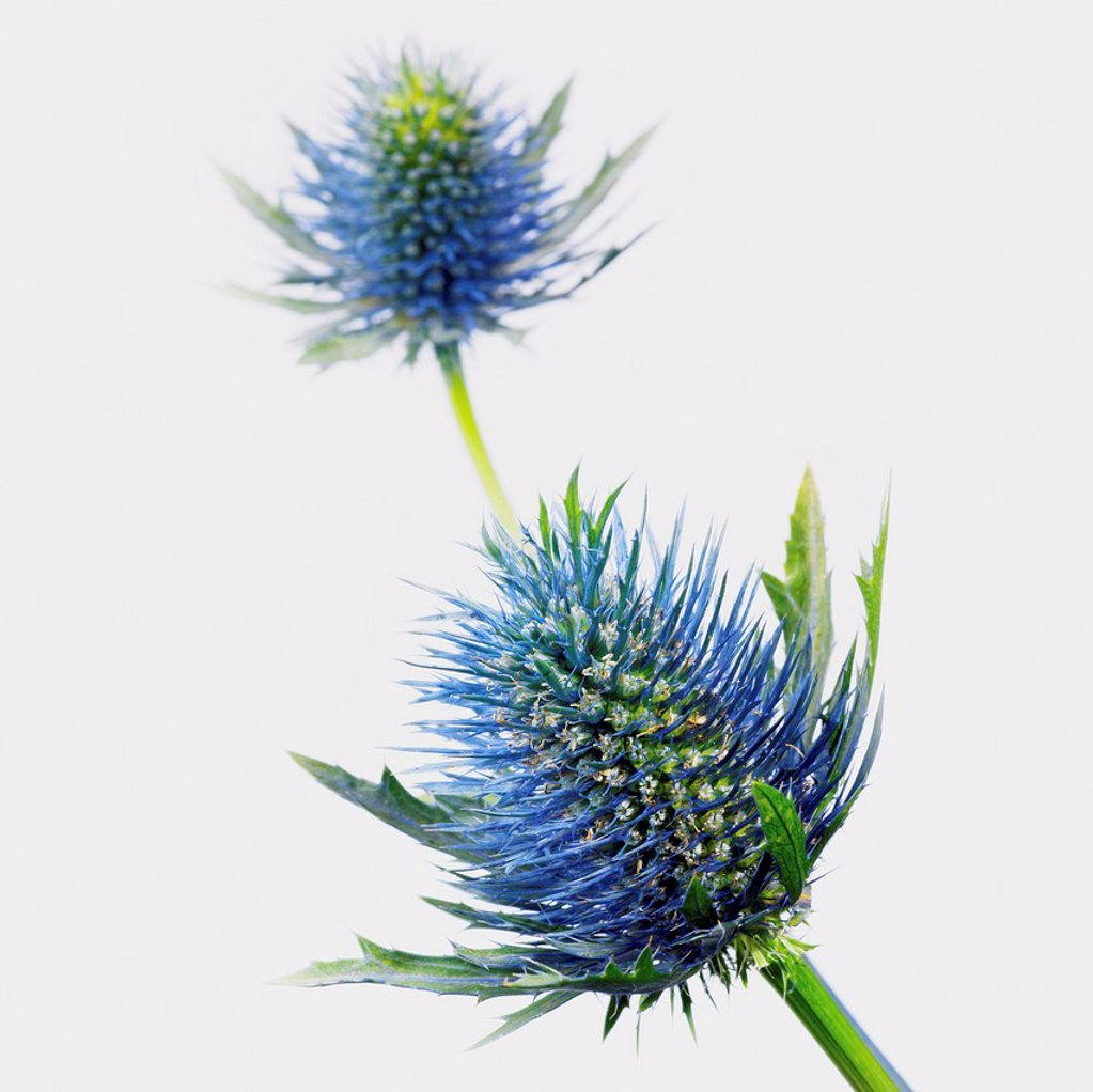 Stock Photo: 1889R-84655 Thistle flowers against a white background