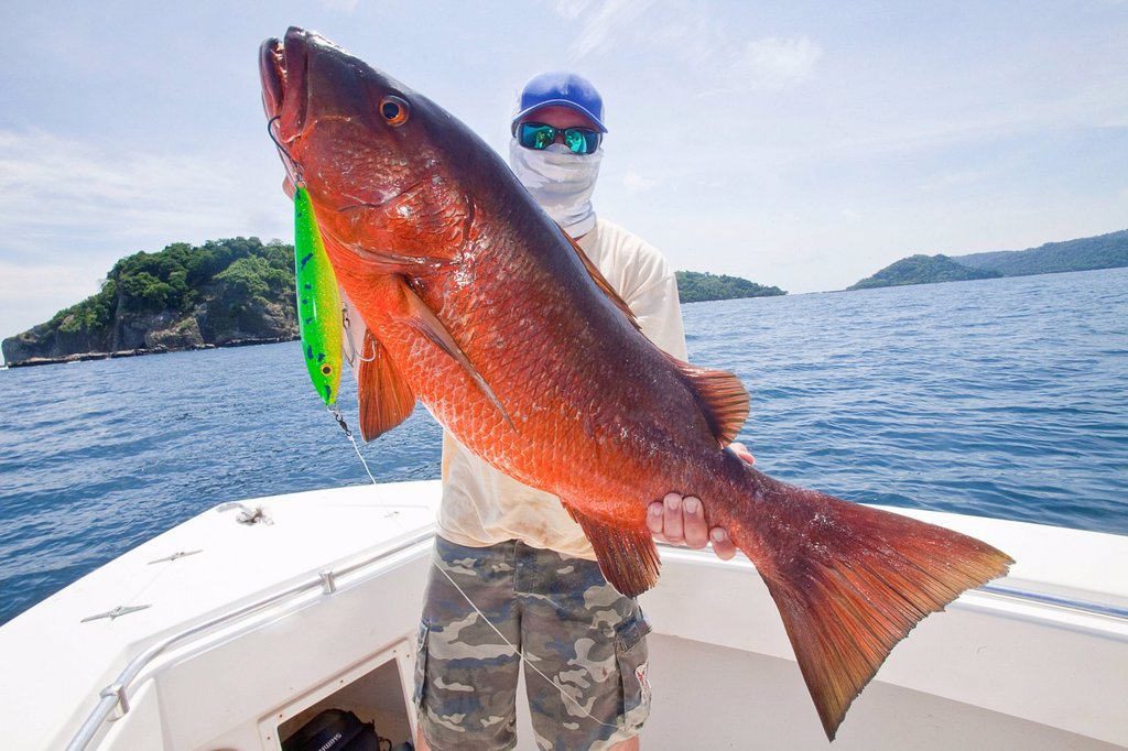 Man holds cubera snapper lutjanus cyanopterus, panama : Stock Photo