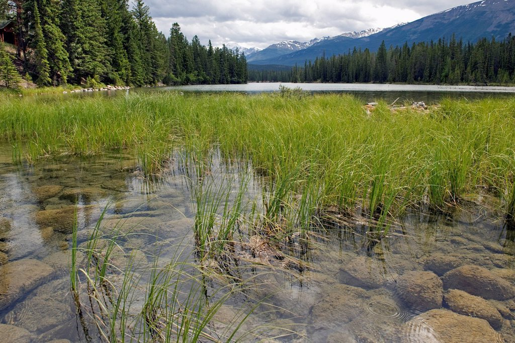 Stock Photo: 1889R-85823 Grass Growing In A Lake In The Canadian Rocky Mountains, Alberta Canada