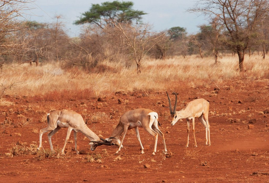 Stock Photo: 1889R-88143 Gazelles In Conflict Using Their Antlers In The Maasai Mara National Reserve;Maasai Mara Kenya