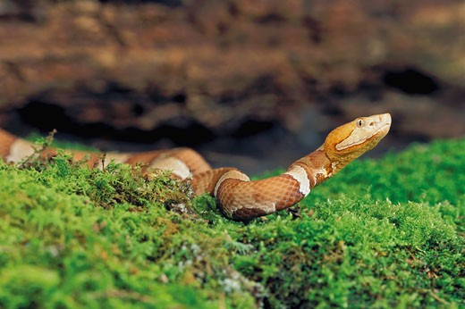 Southern copperhead snake : Stock Photo
