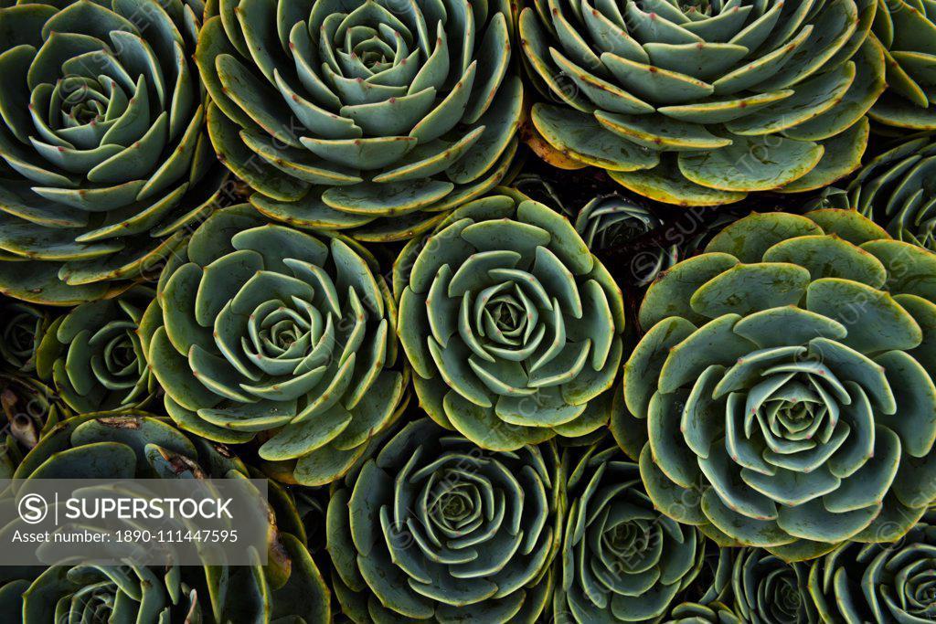Stock Photo: 1890-111447595 Succulents in the shape of flowers, San Gerardo de Dota, San Jose Province, Costa Rica, Central America
