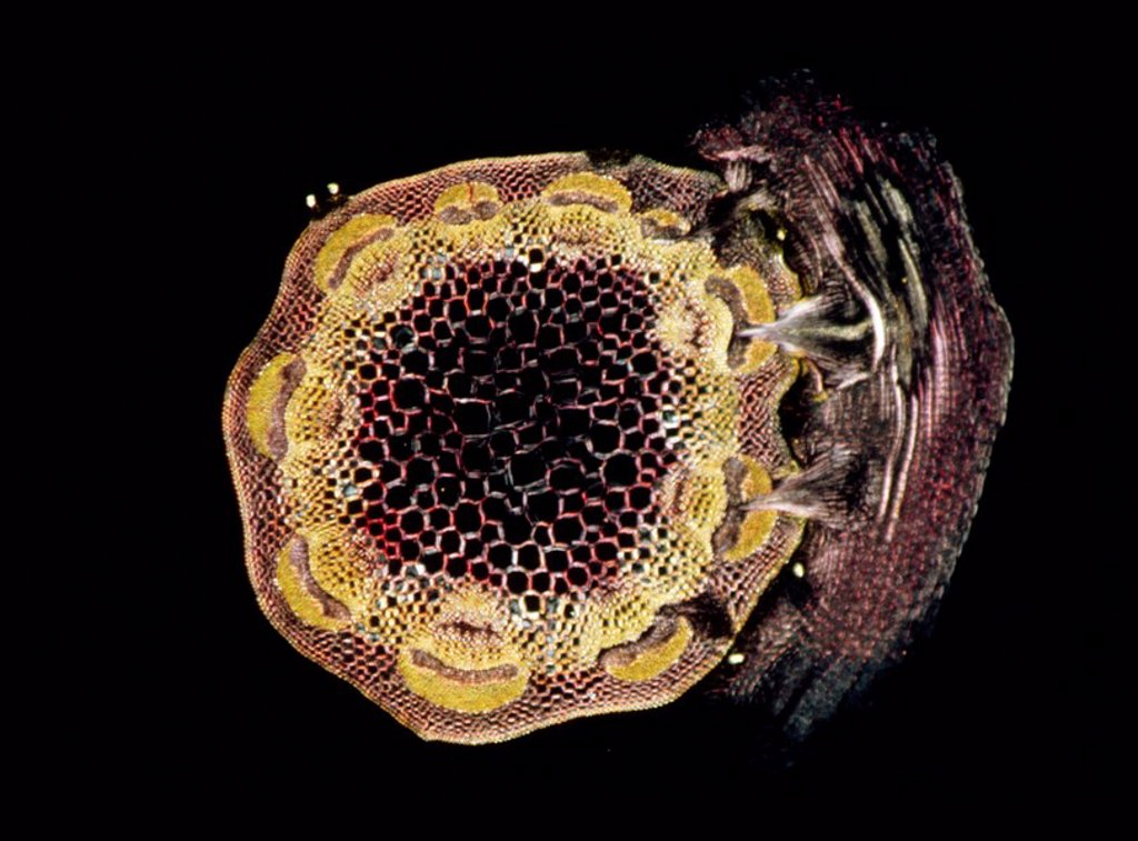 Light Micrograph LM of a transverse section of a stem of Clover Trifolium sp. with an unidentified parasite attached : Stock Photo
