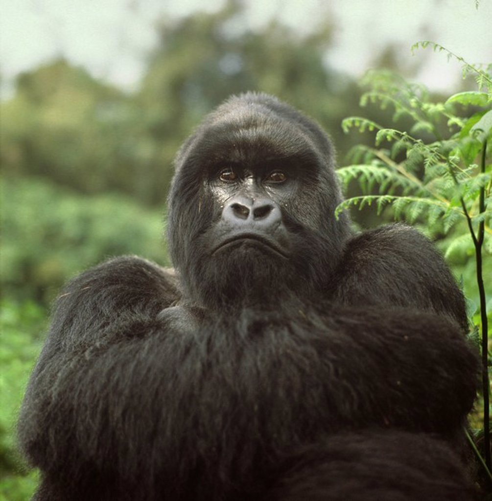 Stock Photo: 1890-106899 Silverback male Mountain Gorilla Gorilla g. beringei, Virunga Volcanoes, Rwanda, Africa