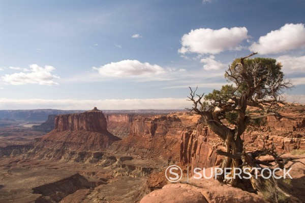 Holeman Spring Canyon Overlook with Utah Juniper tree Juniperus osteosperma on right, Canyonlands National Park, Utah, United States of America, North America : Stock Photo