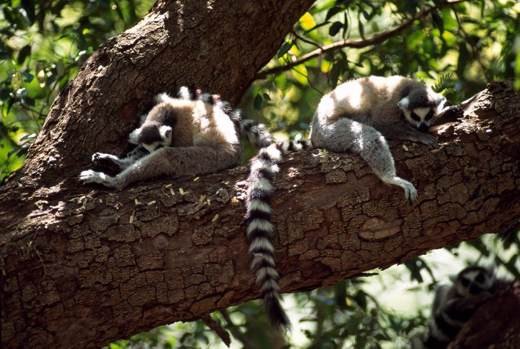 Ring_tailed Lemurs Lemur catta resting on tree, Berenty, Southern Madagascar, Africa : Stock Photo