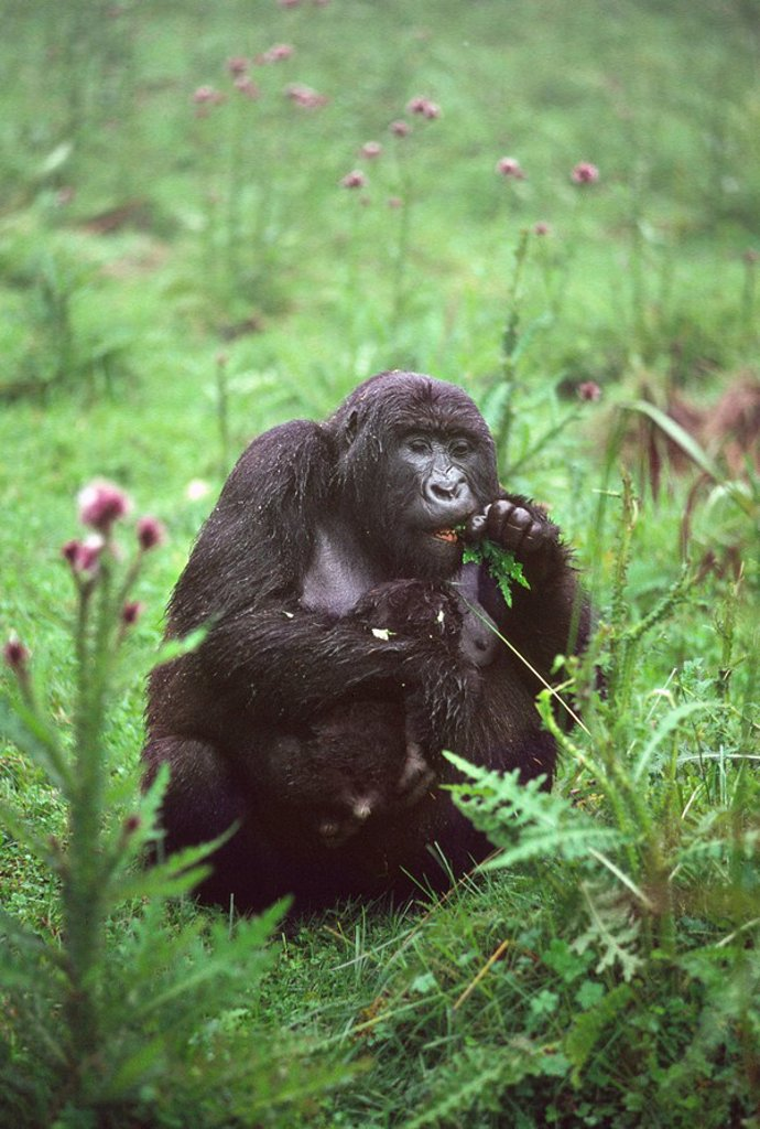 Mountain Gorilla Gorilla gorilla beringei mother with infant feeding on thistle, Virunga Volcanoes, Rwanda, Africa : Stock Photo
