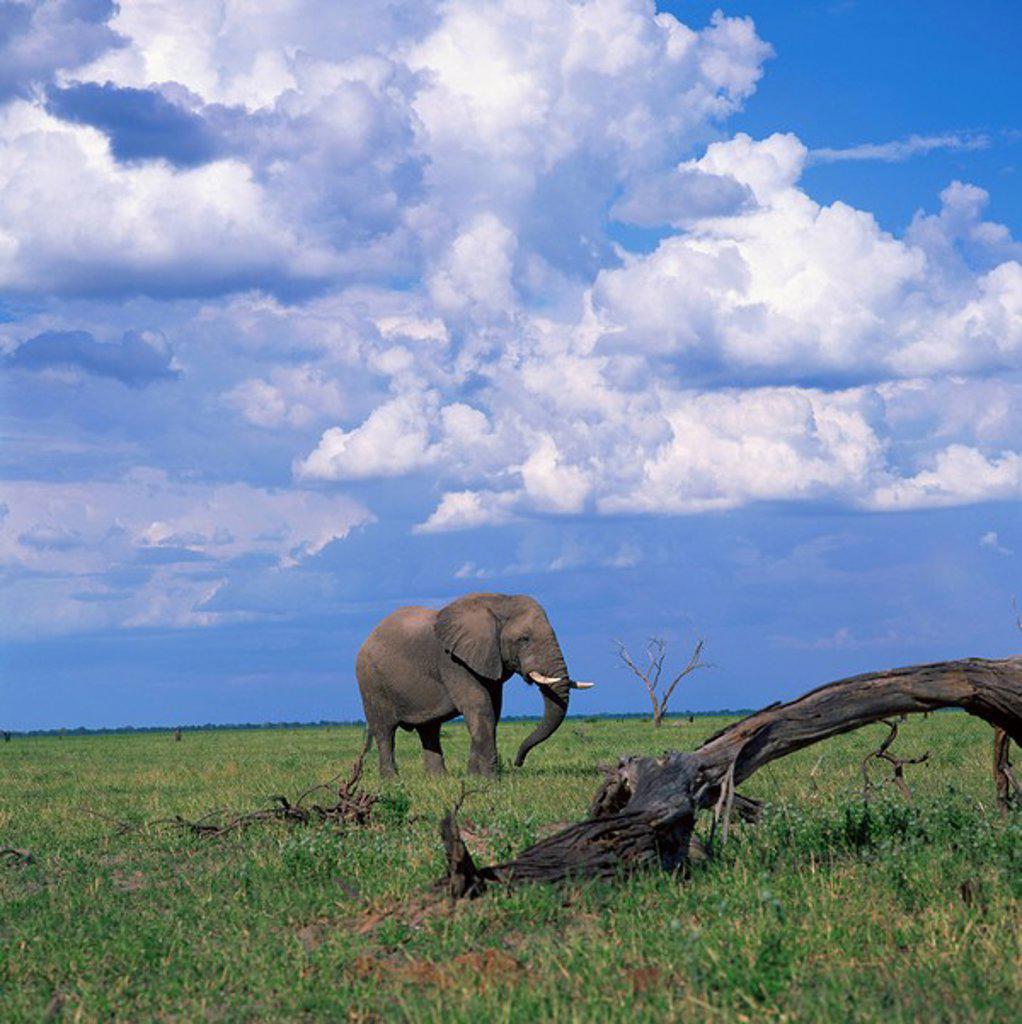 Stock Photo: 1890-10844 Elephant in Chobe National Park, Botswana, Africa