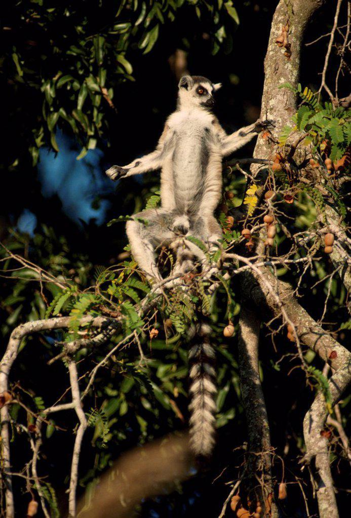 Ring_tailed Lemur Lemur catta sunbathing on tamarind tree, Berenty, Southern Madagascar, Africa : Stock Photo
