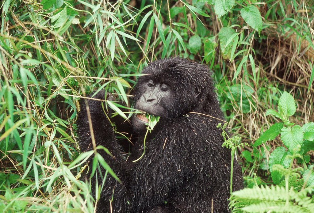 Stock Photo: 1890-110373 Mountain Gorilla Gorilla gorilla beringei female feeding on vine after rain, Virunga Volcanoes, Rwanda, Africa